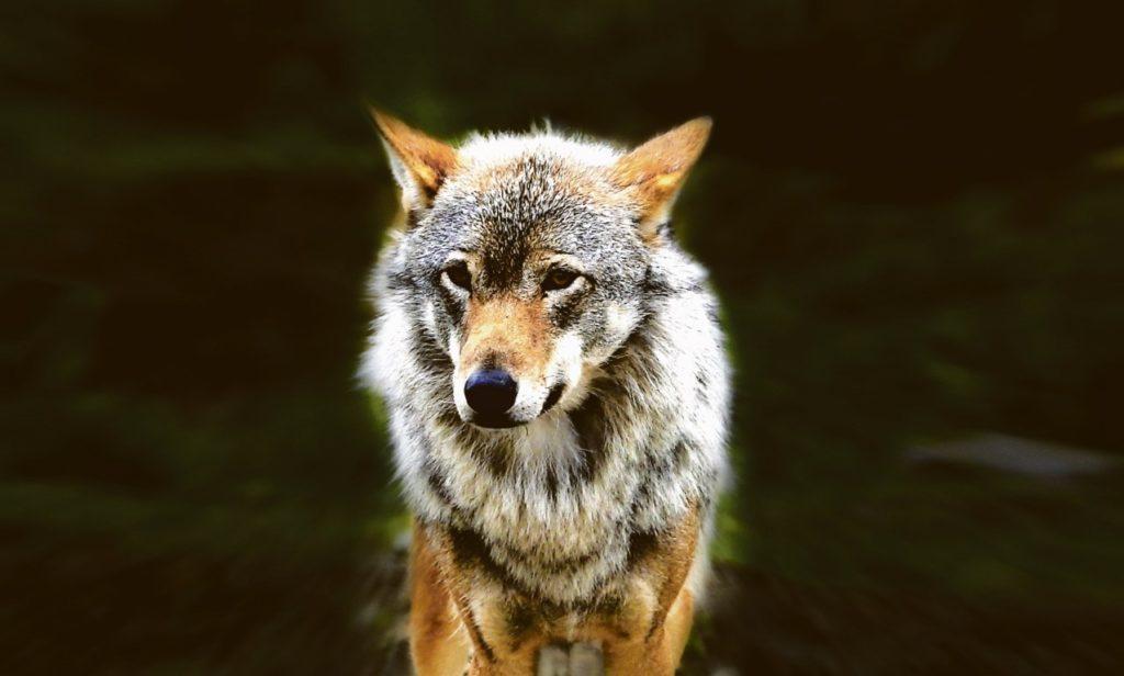 Der_Wolf-PR (Medium)